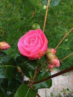 Première fleur de camélias