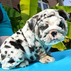 Super Dogs And Puppies Miniatures English Bulldogs 17 IdeasYou can find English bulldog puppies and more on our website.Super Dogs And Puppies Miniatures English Bulldogs 17 Ideas Cute Bulldog Puppies, Cute Bulldogs, English Bulldog Puppies, Cute Dogs And Puppies, Blue English Bulldogs, English Bulldog Funny, Baby Bulldogs, Doggies, Baby Animals Pictures