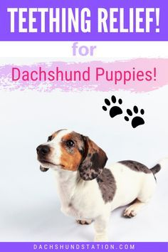 Puppy Teething Dachshund Puppies Can Start Losing Their Baby Teeth Around 12 14 Weeks Of Age Puppies Need Dachshund Puppies Puppy Teething Dachshund Puppy