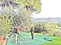 harvesting olives at fontanaro farm