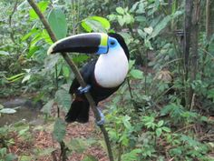 toucans | VIDEO: Toucans – the one trying to get into the compost bucket is ...