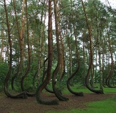 The World In Pictures: The crooked forest: Fantasy woodland that could have come straight from a fairytale