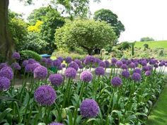 Companion plants for allium flowers For side of house Garden Bulbs, Planting Bulbs, Planting Flowers, Allium Flowers, Bulb Flowers, Organic Compost, Organic Gardening, Landscaping With Rocks, Garden Landscaping