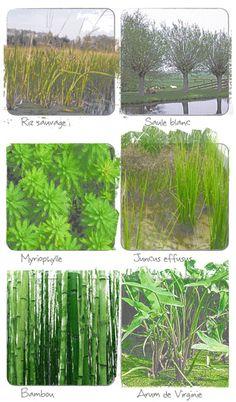 Plantes filtrant l'eau pour le traitement en phytoépuration ''''ecologs ^^