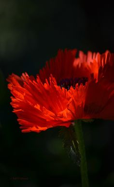 On Fire By Julie Palencia Growing Poppies Flowers Photography