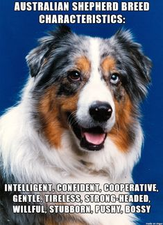 Aussie Breed Characteristics... I dont think that they are bossy tho