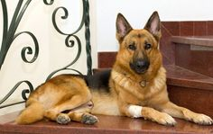 Nguồn gốc của chó Becgie http://becgie.net/nguon-goc-cua-cho-becgie.html