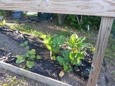 Rhubarb 3 new 3 transplants