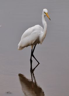 Shy Egret. Photo by Paul Lyndon Phillips