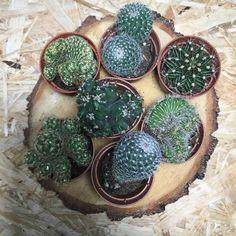 #suculentus #sukulenty #kaktusy #nature