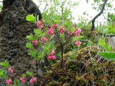 Bog Bilberry (photo courtesy of Gerin Hood, during the FONT June 2009 Iceland tour)
