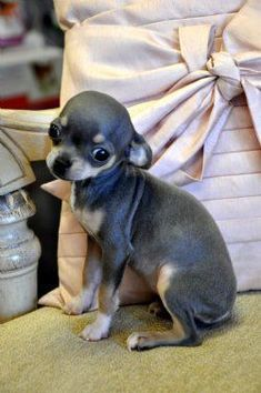 Teacup #chihuahua Puppy