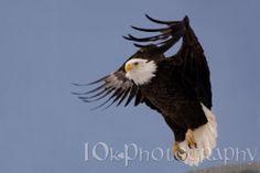 Bald Eagle Taking Flight