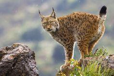 All Newest - Pixdaus   Eurasian Lynx Photo by Mario Moreno By: Assen
