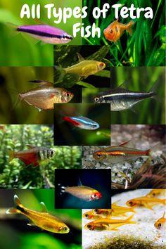 Tetra Fish: All Tetra Species Aquarium Fish Tank, Fish Tanks, Neon Tetra Fish, Fish Care, Pet Fish, Small Fish, Beautiful Fish, Freshwater Aquarium, Types Of Food