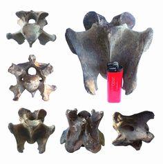 Large vertebra woolly rhinoceros