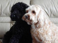 Home page High-Time Australian Labradoodle Puppies, Labradoodles, High Times, Animals, Animaux, Animal, Animales, Animais