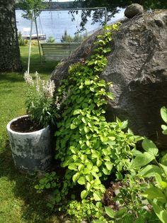 Kivi ja köynnöshortensia Garden, Plants, Garten, Lawn And Garden, Gardens, Plant, Gardening, Outdoor, Yard