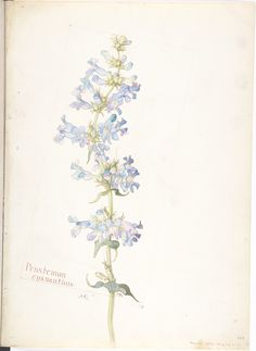Margaret Neilson Armstrong, Penstemon cyananthus, 1913 (source).