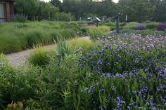 MIDWEST GROUNDCOVERS Display Gardens & Plant Trials: Piet Oudolf Designed Garden Amsonia 'Blue Ice'