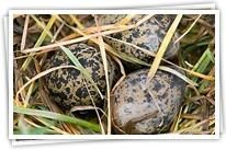 Camouflage-eieren -  uit de reeks NU naar buiten - Stichting NatuurWijs