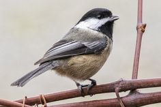"the-ravens-song-photography: "" Black-capped Chickadee """