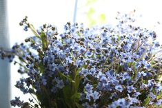 Planting and growing forget-me-nots