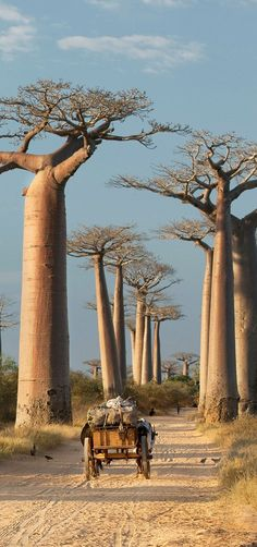 Avenue Of The Baobabs, Madagascar
