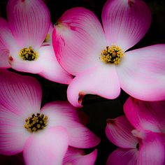 Photograph - The Dogwood Flower by David Patterson
