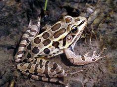 Pickerel Frog - Rana palustris