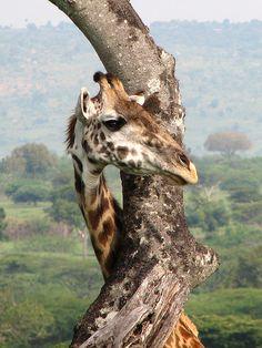 Giraffe 2 | Flickr - Photo Sharing!