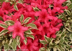 Bollywood Azalea offers an exciting show of elegant color and becomes a show stopper in any #landscape! Use this plant in mixed borders, as an accent plant, or in containers. Bright, deep #pink #flowers appear in the spring and the foliage is glossy, silver and dark green variegated. The Bollywood #Azalea is a hardy, compact, semi-evergreen that provides season-long color and attracts many #butterflies.
