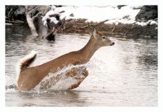 leaping deer | White Tailed Deer Leaping Across The Methow River, Washington State ...