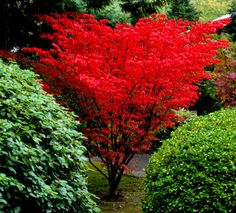 Acer palmatum Shindeshojo Spring Red Japanese Maple