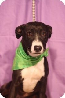 Weatherford, TX - Labrador Retriever/Border Collie Mix. Meet April a Dog for Adoption. Please come visit this adorable girl. She would make a wonderful forever member of a good loving family. 817-598-4111. This is a KILL shelter. Weatherford, Tx.