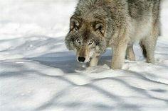 À pas de loup