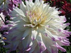 Ferncliff Gardens - View Flower Ferncliff Illusion