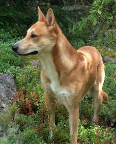 "The Canaan Dog comes from Israel and was bred originally for herding and guarding sheep. It's origins can be dated back to the at least 2000BC. The breed was named the ""Canaan Dog"", after the Land of Canaan in Israel."