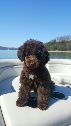 Toy Poodle Teddy