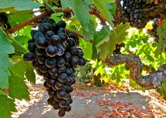 Best vineyard of the year: Bechthold in Lodi