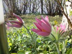 Küchenschelle Plants, Lawn And Garden, Plant, Planets