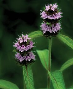 Hairy wood mint (Blephilia hirsuta) is a wonderful native plant that can be grown in a rock garden or in light dappled shade at the edge of the woodland garden. Like most mints, it is fragrant, and the small, tubular flowers are dotted with purple at the edge of the lip.