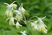 THALICTRUM DASYCARPUM | Purple Meadow Rue Native Wildflower Seeds