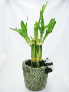 Lucky Bamboo Plant Arrangement with Ceramic Panda Vase by 9GreenBox.com, http://www.amazon.com/dp/B001SI04VI/ref=cm_sw_r_pi_dp_2FSTqb0FBRV2B