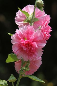 Beautiful Pink Hollyhock ~ By Flower Garden, Pretty Flowers, Bloom, Beautiful Blooms, Hollyhocks Flowers, Amazing Flowers, Beautiful Flowers, Love Flowers, Trees To Plant