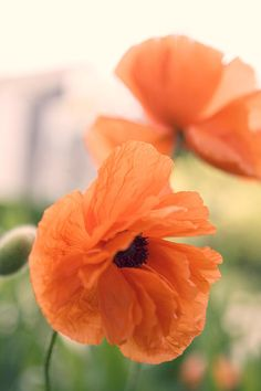 Poppies... want one like the bottom flower. Reminds me of my grandparents.