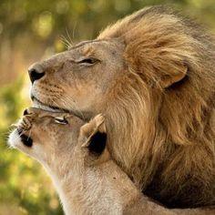 #animals #instaanimals #животные #милота #funny #happy #animal #like #follow #cat #кошки #львы #лев #львица #любовь #семья #lion #lions #love #family