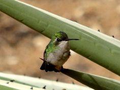 Mother Hummingbird guarding her nest.