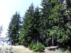 Pine trees on the Isten Széke(God's Chair) peak, Mures county, Romania :D