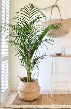 coastal living - white and rattan with palms ~~Grand ventre panier jonc de mer stockage Organisation par JDogandT